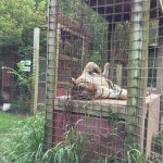Rajahn the tiger is a show off.