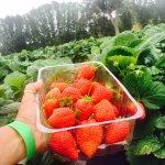 The Beerenberg Family Farm strawberry picking
