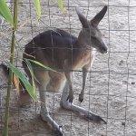 nos amis les kangourous