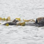 Several sea otters to see amongst the kelp