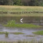 My favorite is there resident Snowy White Egrets & Blue Herons!