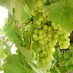 Vines laden with grapes