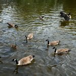 Canada Geese on the River Wye