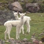 Baby Alpacas in Lares Trek