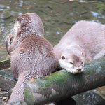 A pair of otters