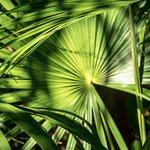 Lots of Fan Palm