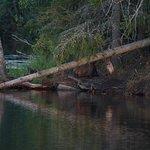 Beaver on shore
