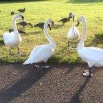 Spike Island, ducks and geese wander free.