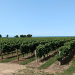 The vineyard, with Lake Ontario as the backdrop