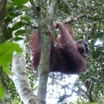 Wild male Orang at The Last Frontier