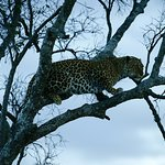 Leopard looking for prey at dusk