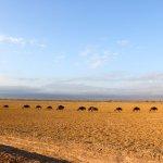 Wildebeests under Mount Kilimanjaro