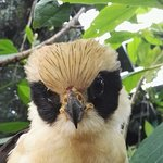 juvenile Laughing Falcon