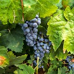 Grapes at Achaia Clauss Winery in Patras, Greece