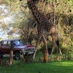 Giraffes to greet you