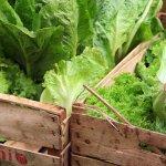 täglich frisch vom Gemüsebauern