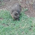 Hyrax feeding freely among guests