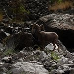 watch for bighorn sheep.