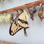 Venez entre 10h et 15h pour voir à l'éclosion des papillons (selon la volonté de dame nature).