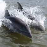 Dolphins surfing behind the boat