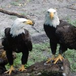 Injured eagles