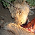 Lioness eating Kudu