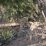 Leopard protecting her kill up in the tree from a single Hyena