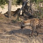Hyena looking to steal from leopard