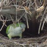 Perruche nichant dans un palmier à coté de la piscine