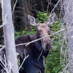 Moose sighting in the Marshes!