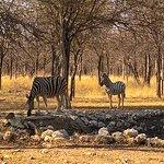 Zebras drinking close to the restaurant