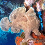 Giant frogfish at Mala Pier