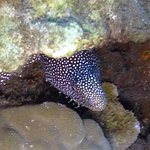 Whitemouth Moray Eel Mala Pier
