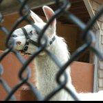 The Lama