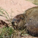 Hello Mr. Marmot!