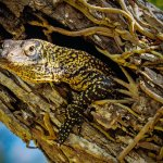A baby Komodo Dragon peeks out of his tree hole at Komodo Island. Baby Komodos live in the trees