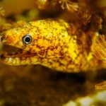 A baby moray eel hunts in the sea anemones on a night dive at Komdo National Park.