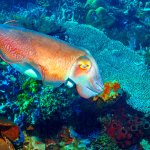 A cuttle fish flashes its vibrant colors as I appraoch a sea anemone with its eggs at Komodo Par