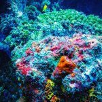 A deadly Scorpion Fish camoflages itself in the corals of Komodo National Park.