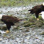 eagles on shore