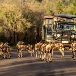 A pack of Wild Dogs in Hluhluwe Imfolozi Park