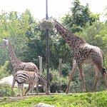 Giraffes and zebras together