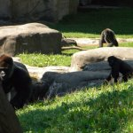 Baby gorilla and adults at play