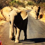 Young elephant chasing our vehicle as mother watches on apprehensively in Pilanesberg.