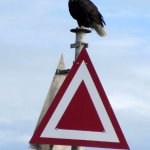 Bald eagle in Ucluelet Harbour