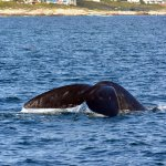 Southern right whale diving, taken with Ivanhoe