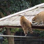 Raccoon in the Zoo