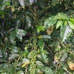 Foto de Café Monteverde Coffee Tour