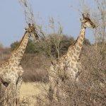 Giraffen bei Sunrise-Drive