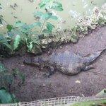 piccolo coccodrillo